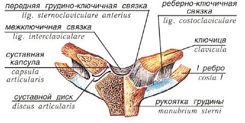 Суставы пояса верхней конечности таблица суставная жидкость в коленном суставе отсутствует