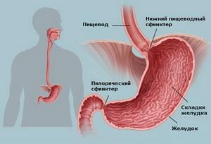 Пищевод человека схема
