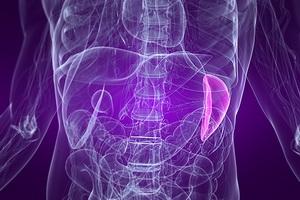Анатомия селезенки: строение и расположение в организме