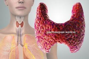 Анатомия человека: строение и расположение щитовидной железы