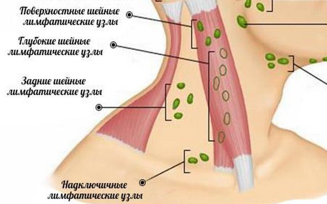 анатомия шейных лимфоузлов