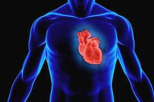 Анатомия и расположение сердца у человека