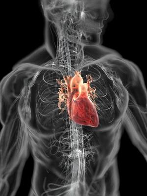 расположения сердца у человека фото