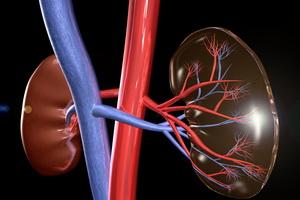 Анатомия человека: органы почки и мочевыводящие пути