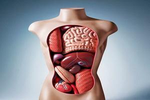 Анатомия человека: внутренние органы мужчины и женщины