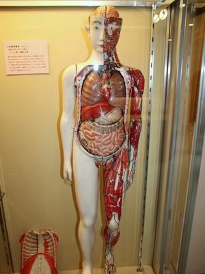 анатомия человека внутренние органы фото