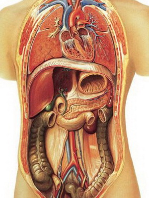 человека внутренние органы