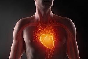 Как устроено сердце человека и как оно работает
