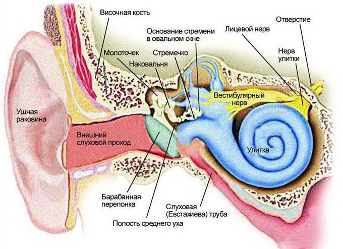 Внутреннее ухо — лабиринт
