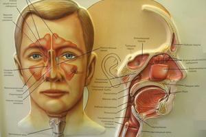 Строение полости носа и пазух