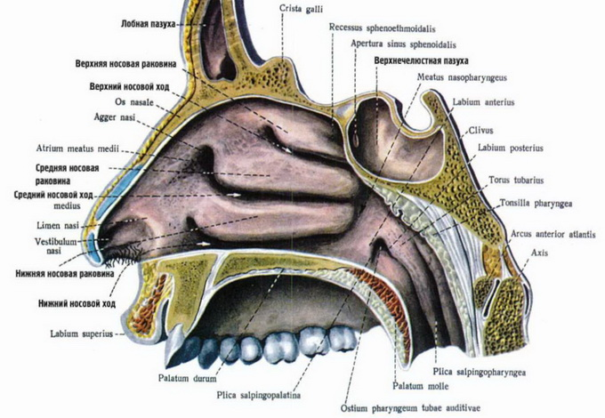 строение носа и пазух в картинках кости скулы рекомендуют наносить