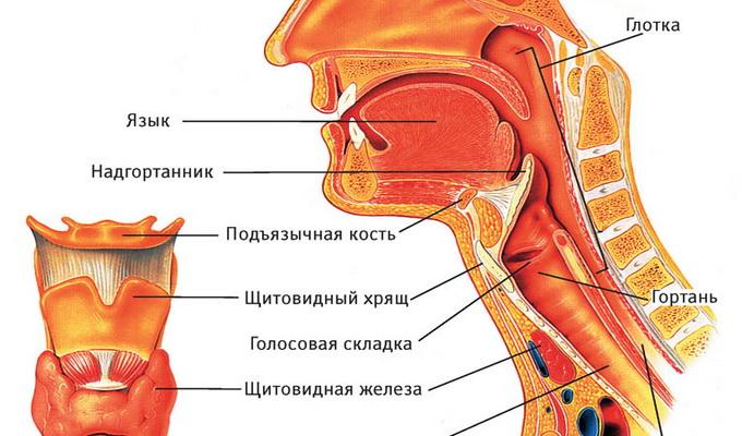 строения горла человека