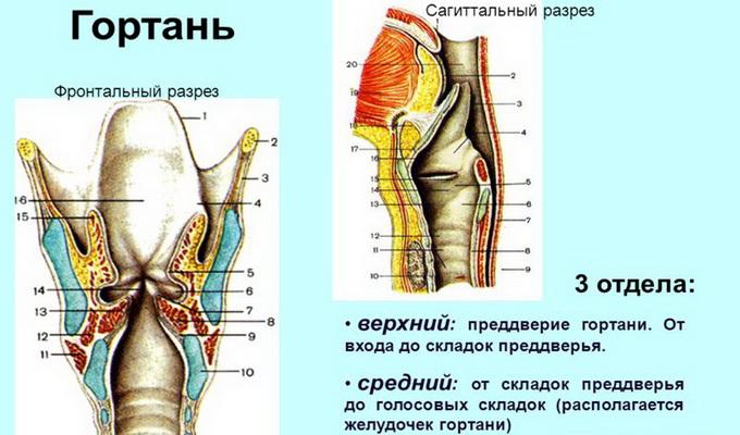 Скелет гортани состоит из