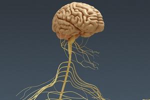 Центральная нервная система человека: строение и основные функции