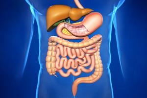 Пищеварительная система человека: строение, значение и функции