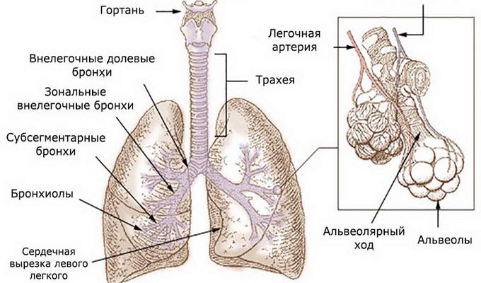 Туберкулез внутригрудных лимфатических узлов